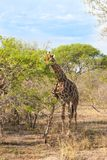 La giraffa reticolare selvaggia ed il paesaggio africano in Kruger nazionale parcheggiano in UAR Fotografie Stock