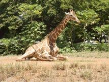 La giraffa si siede sul pascolo con le piante, alberi, cielo blu Backgroun Immagini Stock Libere da Diritti