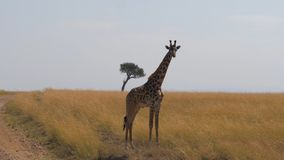 La giraffa sola sta nella savana africana Masai Mara, riserva naturale, Kenya Fotografie Stock Libere da Diritti