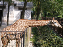 La giraffa in zoo Immagine Stock