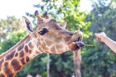 La giraffa in zoo mangia il fagiolo Immagini Stock Libere da Diritti