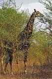 La giraffe Image libre de droits