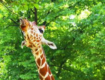 La giraffe affiche sa langue Photographie stock