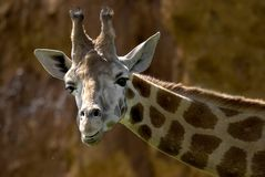La giraffe de la verticale Photo stock