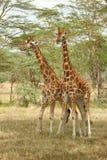 La giraffe de Rothschild Photos stock