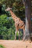La giraffe de Rothschild photo libre de droits