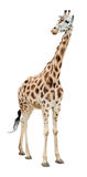 La giraffe moitié-tournent regarder le découpage Photo stock