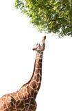 La giraffe prend la nourriture, d'isolement Image stock