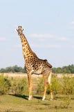 la giraffe une de buisson a photographié la Zambie Images stock