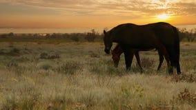 La giumenta di colore rosso con il giovane puledro pasce l'erba nei raggi del sole di sera stock footage