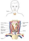 La glándula tiroides Imagen de archivo libre de regalías