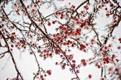 La glace congelée a couvert des pommes sauvages sur un arbre Photos libres de droits