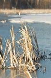 La glace a couvert des Cattails Images stock