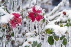 La glace a enveloppé des roses et des feuilles Photographie stock libre de droits