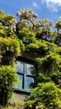 La glicina fiorisce in Kensington, Londra, Inghilterra Immagine Stock Libera da Diritti