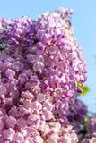 La glicinia es un género de plantas florecientes en la familia de guisante Fotografía de archivo