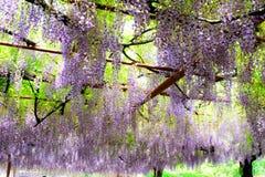 La glicinia floreciente Fotografía de archivo libre de regalías