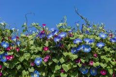 La gloire de matin bleue fleurit la floraison sur le fond de ciel bleu images libres de droits