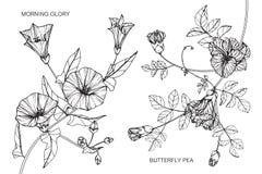La gloire de matin et le pois de papillon fleurissent le dessin et le croquis illustration libre de droits