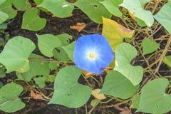 La gloire de matin pourpre, les fleurs et les arbres fleurissent Photo stock