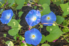 La gloire de matin pourpre, les fleurs et les arbres fleurissent Photo libre de droits