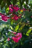 La gloire de matin rose sur le contraste avec le fond foncé Image stock
