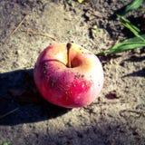 La gloria di varietà di Apple ai vincitori, matura nel periodo dell'estate, della fine dell'estate e di autunno, il posto dell'al immagine stock