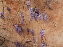 La glycine fleurissant contre Sienne a coloré le détail de mur Photos stock