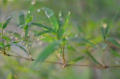 La goccia di pioggia sulle foglie del bambù e sul fondo leggero del sole Fotografia Stock
