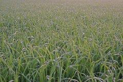 La gocciolina dell'acqua sul ` s del riso lascia nel campo, gocce di rugiada immagini stock libere da diritti