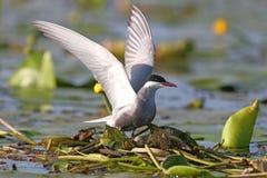 La golondrina de mar patilluda con las alas abiertas de par en par se sienta en una jerarquía Imágenes de archivo libres de regalías