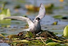 La golondrina de mar patilluda con las alas abiertas de par en par se sienta en una jerarquía Foto de archivo