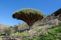 La Gomera - EL Drago del árbol de dragón Imagen de archivo
