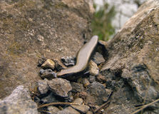 La Gomera Skink Stock Photography