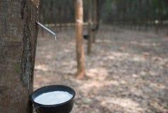 La gomma che uscito dal hevea brasiliensis di chiamata dell'albero Immagini Stock Libere da Diritti