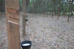 La gomma che uscito dal hevea brasiliensis di chiamata dell'albero Fotografie Stock Libere da Diritti
