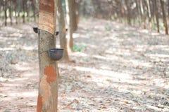 La gomma che uscito dal hevea brasiliensis di chiamata dell'albero Immagine Stock