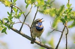 La gorge bleue masculine saisissante se reposant sur une branche d'arbre et chante ainsi images stock
