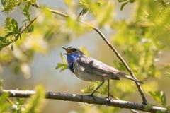 La gorge bleue masculine se reposant sur une branche du saule et chante ainsi images stock