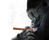 La gorilla di Badass con gli occhiali da sole freschi che fumano un sigaro cubano gradisce un capo immagini stock libere da diritti