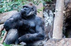 La gorilla fiera si siede qui ed aspettandovi immagini stock libere da diritti