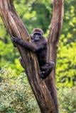 La gorilla si trova in un albero immagine stock