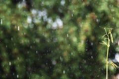 La goutte de pluie de vol dans le jardin éclabousse, une pousse sur le fond de la pluie photographie stock libre de droits