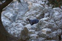 La Grèce, chèvre de rocheux-montagne de Rodos image stock