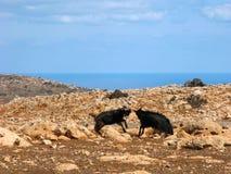 La Grèce, Crète sauvage, combat de chèvre Photographie stock libre de droits