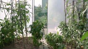 La grúa llena de HD tiró el vídeo de la maleza del tomate del invernadero con los tomates verdes y rojos en ella eco que cultiva  almacen de video