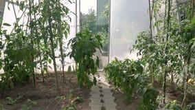 La grúa llena del hd tiró el vídeo de la maleza del tomate del invernadero con los tomates verdes y rojos en ella eco que cultiva metrajes