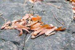 La graine à ailes de Dipterocarpus Photos libres de droits