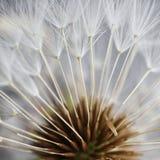 La graine de pissenlit dans le jardin photographie stock libre de droits