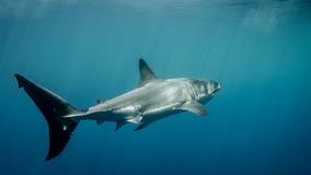 La gran aleta caudal del tiburón blanco debajo del sol irradia en el océano azul Foto de archivo